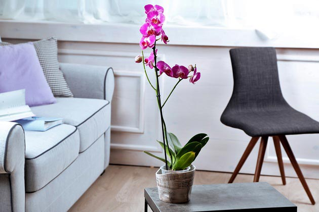 Комнатная орхидея в горшке